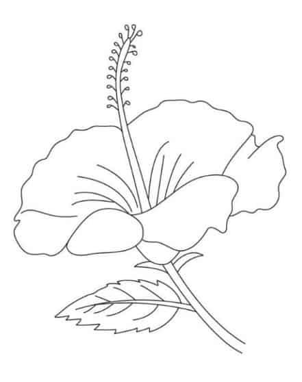 Contoh Sketsa Bunga Kembang Sepatu