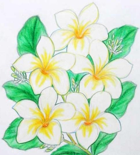 14 Gambar Sketsa Bunga Kamboja Warna Hitam Putih Dan Sederhana