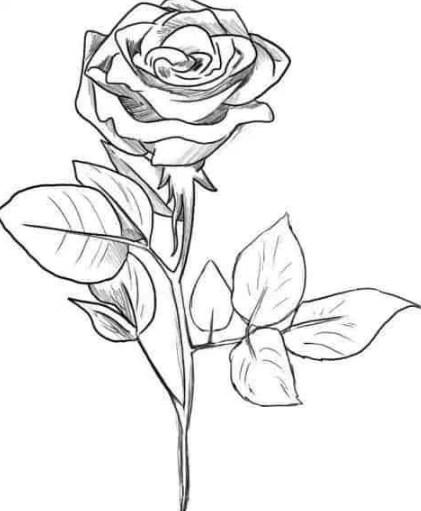 Gambar Sketsa Bunga Mawar Hitam Putih