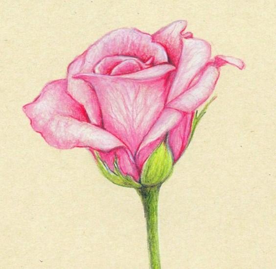 Gambar Sketsa Bunga Mawar Keren