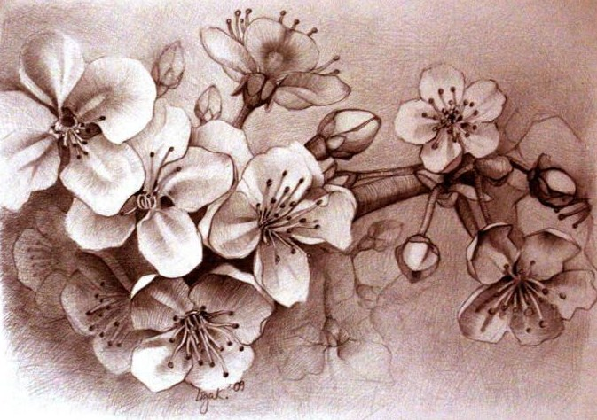 Gambar Sketsa Bunga Sakura Sederhana