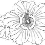 Gambar Sketsa Bunga Sepatu