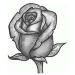 Gambar Sketsa Kuncup Mawar