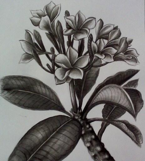 Gambar Sketsa Pensil Bunga Kamboja