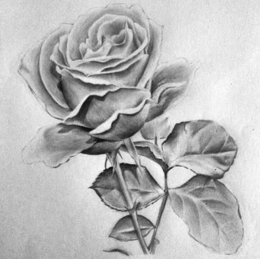 Gambar Sketsa Pensil Bunga Mawar