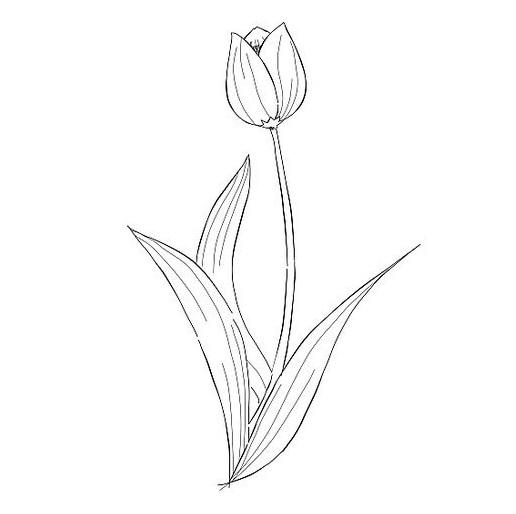Gambar Sketsa Setangkai Bunga Tulip