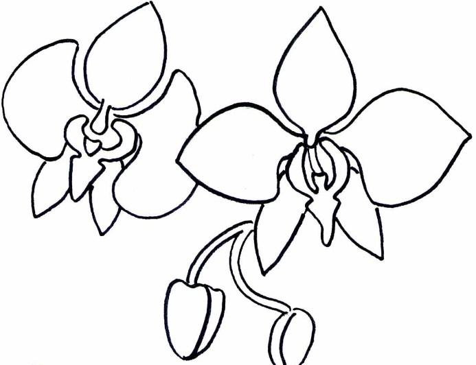Sketsa Bunga Anggrek Bulan