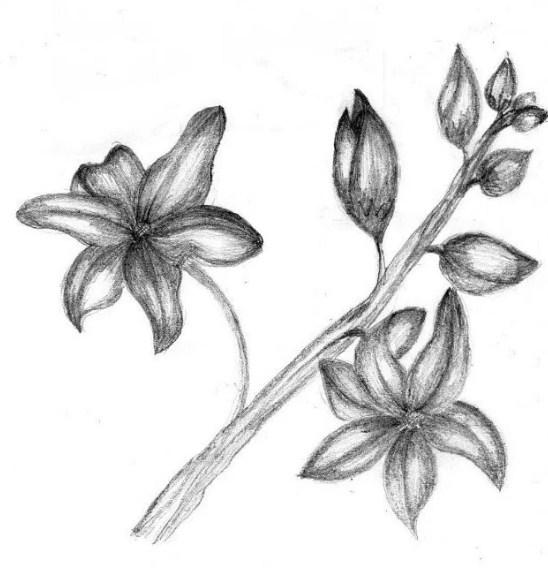 Sketsa Bunga Anggrek Dengan Pensil