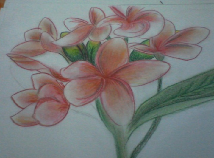 Sketsa Bunga Kamboja Jepang