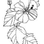 Sketsa Bunga Kembang Sepatu