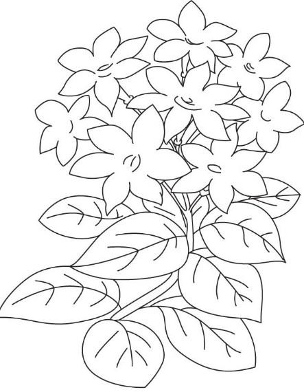 Sketsa Bunga Melati Putih