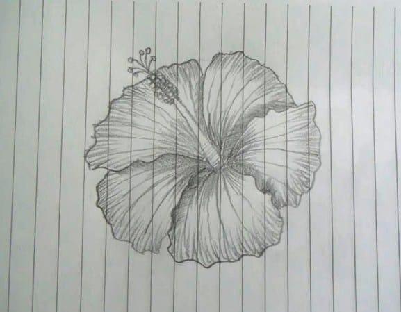 Sketsa Bunga Sepatu Dengan Pensil