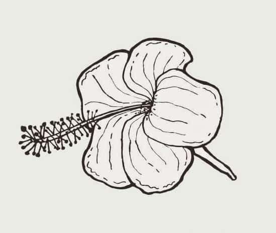 Sketsa Bunga Sepatu Sederhana