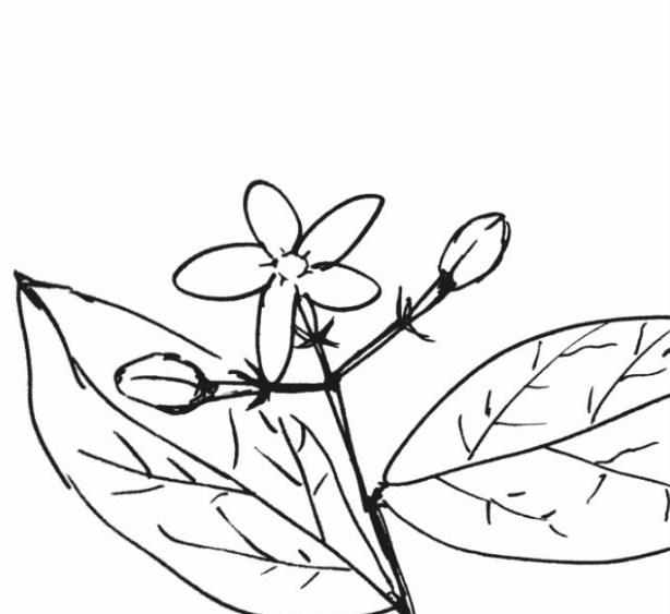 Sketsa Daun Bunga Kamboja