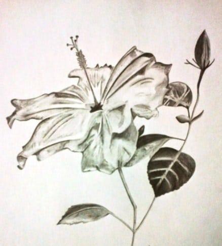 Sketsa Gambar Bunga Kembang Sepatu