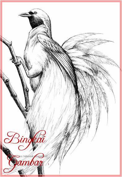 Sketsa Gambar Hewan Burung Cendrawasih Terbaru