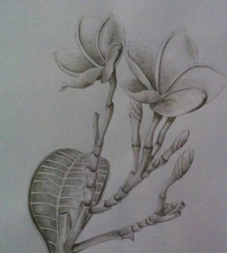 Sketsa Menggambar Bunga Kamboja