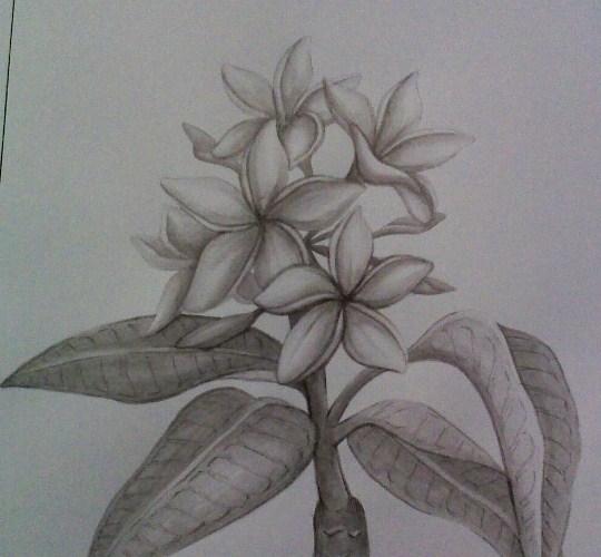 Sketsa Pensil Bunga Kamboja
