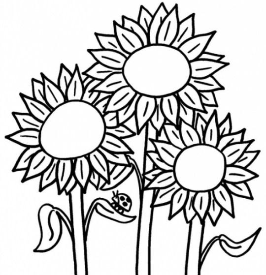 contoh gambar sketsa bunga matahari