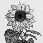 contoh sketsa lukisan bunga matahari