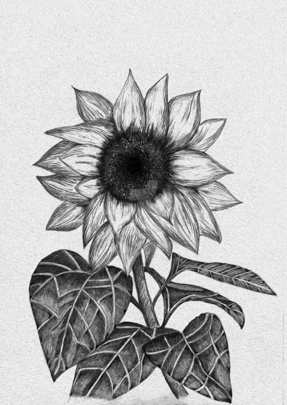 15 Gambar Sketsa Bunga Matahari Dan Cara Mudah Menggambarnya