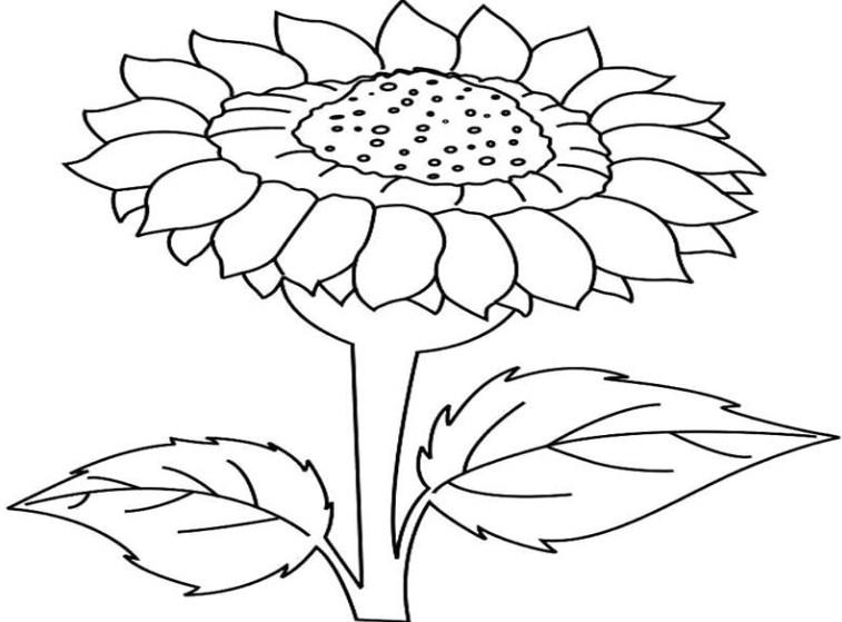 foto sketsa bunga matahari