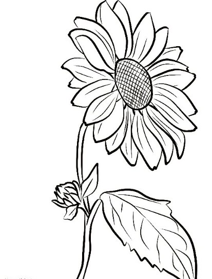 gambar sketsa setangkai bunga matahari