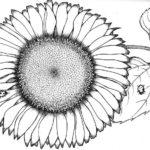 sketsa bunga matahari hitam putih