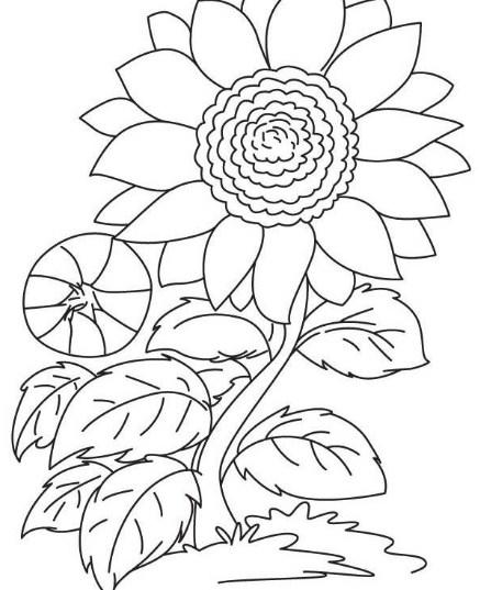sketsa daun bunga matahari