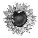 sketsa kelopak bunga matahari