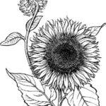 sketsa menggambar bunga matahari