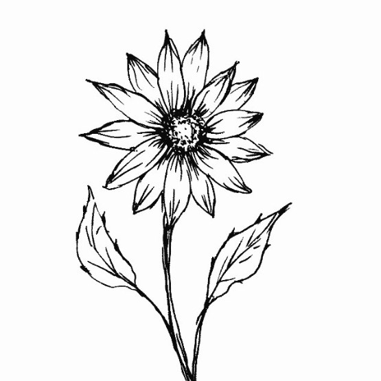 sketsa tanaman bunga matahari