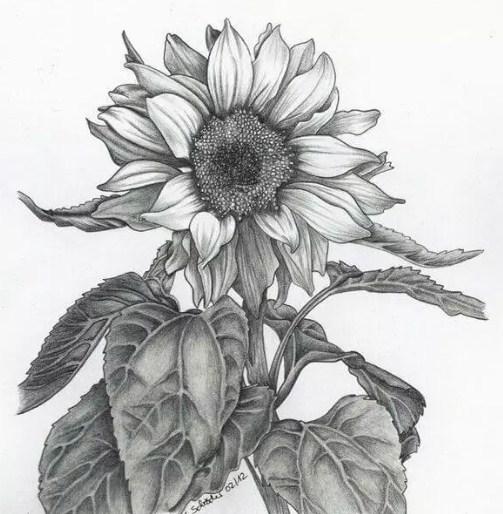 sketsa warna bunga matahari