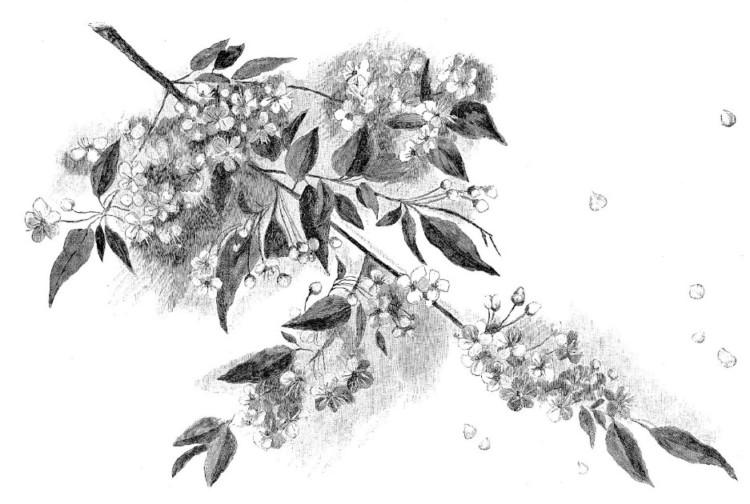 Gambar Sketsa Lukisan Bunga Sakura