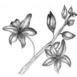 Sketsa Lukisan Bunga Dengan Pensil