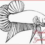 Contoh Gambar Sketsa Ikan Cupang