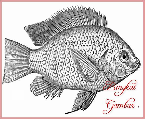 Gambar Sketsa Ikan Gurame Bingkaigambarcom