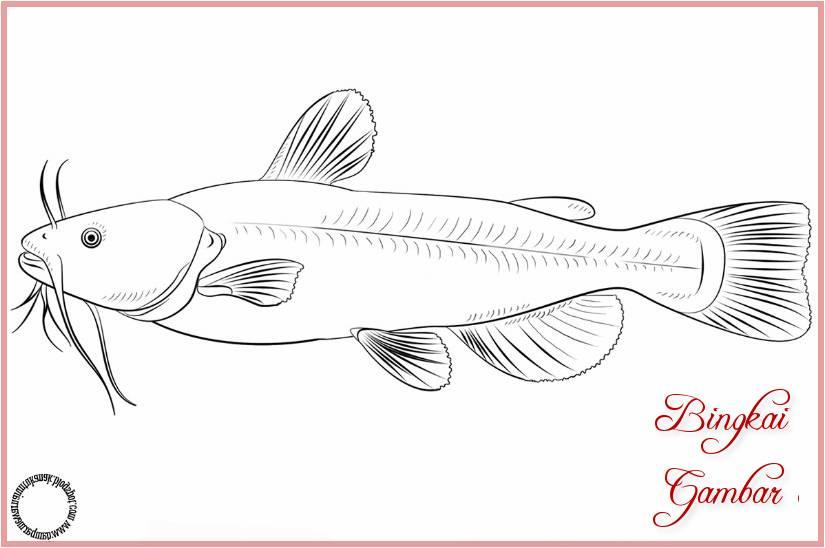 Gambar Sketsa Ikan Lele Bingkaigambarcom