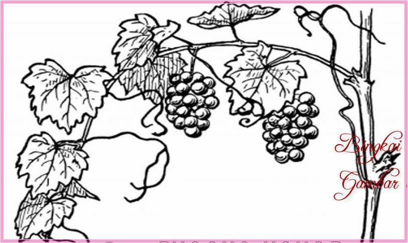 Gambar Sketsa Pohon Anggur Terbaru