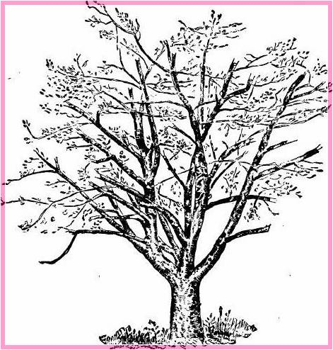 Gambar Sketsa Pohon Jambu Terbaru
