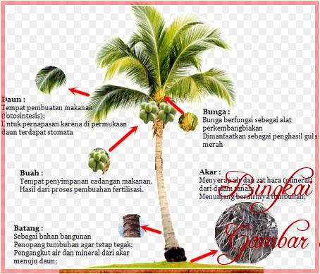 Sketsa Gambar Dan Manfaat Pohon Kelapa