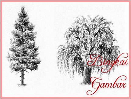Sketsa Gambar Macam-Macam Pohon Cemara