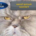 Gambar Dan Nama Jenis Kucing Persia