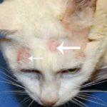 Gambar Jamur Pada Kucing Persia