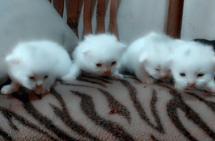 Gambar Kucing Anak Persia
