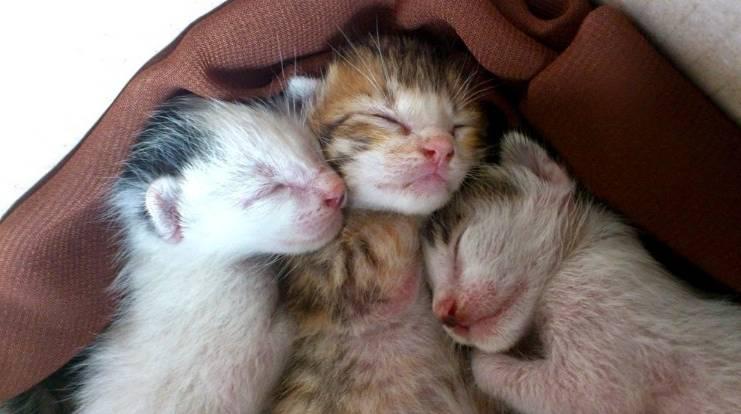 Gambar Kucing Persia Baru Lahir