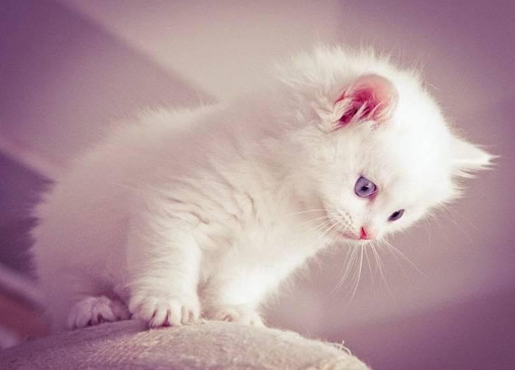 Gambar Kucing Persia Bergerak