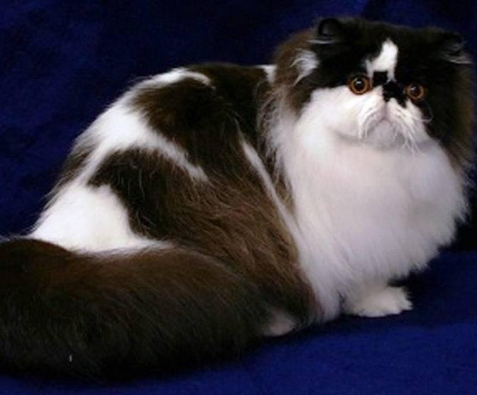 Gambar Kucing Persia Besar
