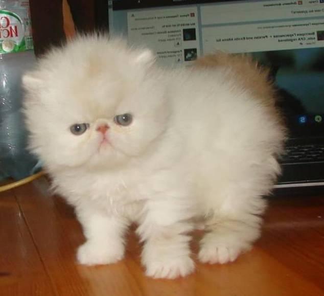 Gambar Kucing Persia Bulu Kapas