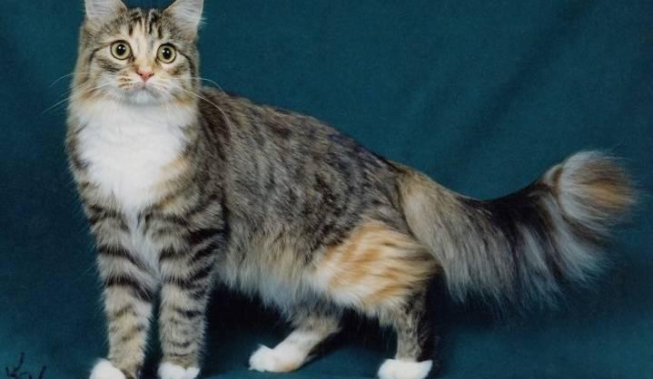 Gambar Kucing Persia Campuran Kampung